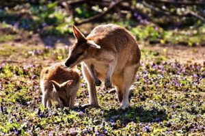 Australia: Canguro